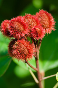 Annatto seed pods