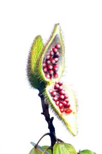 Red annatto seeds in a green annatto pod.