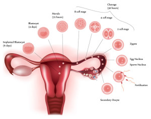 Picture of the uterus and the menstrual cycle which may cause IBS symptoms.