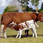 Cow nursing her calf.